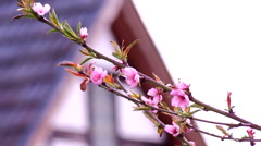 cherry blossom flowers in april spring close up - stock footage