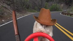 Adorable Maltese Dog Paws On Steering Wheel Navigates Winding Country Road - stock footage