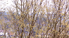 hazel bloom in spring time allergic season  filbert - stock footage