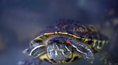 Pond slider (Trachemys scripta) swims in the aquarium Stock Footage