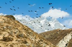 Crows over himalayas - stock photo