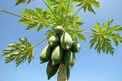 papaya fruit on tree - stock photo