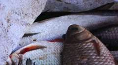 Freshly caught fish in a bag, bream and ides. Stock Footage
