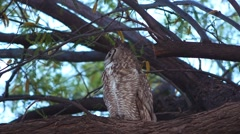 A Great Horned Owl in a tree Stock Footage