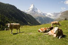 Cows resting on a hillside - stock photo