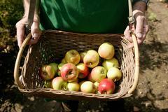 Man showing basket of apples at harvest - stock photo