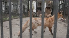 4K Animal Cruelty Caged Foxes Stock Footage