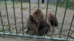 4K Animal Cruelty Caged Bear in a Zoo Stock Footage