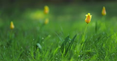 Time lapse of yellow tulips blooming in meadow Stock Footage