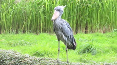 4k Shoebill bird green grass reed meadow sunny day Stock Footage