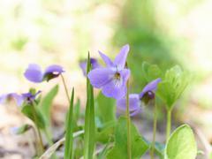 Viola odorata  blooming in spring close-up. - stock photo