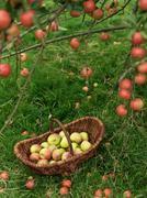 Basket of apples under apple tree - stock photo