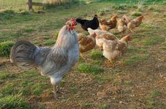 cockerel with hens - stock photo
