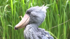 4k Shoebill bird head close up green meadow sunny day Stock Footage
