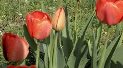 Red tulips in the garden flowerbed in the wind - stock footage