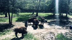 Bison Grazing and Eating Hay at the Cape May Zoo Stock Footage