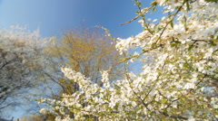Blossom plum tree by spring. Slow motion, Wide angle low point of view - stock footage