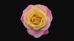 Time-lapse of dying Miss Piggy rose in RGB + ALPHA matte format, top view Stock Footage