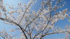 Under the cherry blossoms, slow motion, dolly in Stock Footage