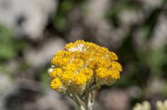 Flowers and leaves of Helichrysum stoechas - stock photo