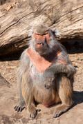 Hamadryas baboon ( Papio hamadryas ) - stock photo