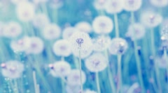 Many white fresh fluffy dandelion flowers in spring meadow Stock Footage