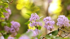 Beautiful Lilac flower bush and bee. Branches moving on wind. Spring sunset time Stock Footage