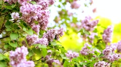 Beautiful Lilac flower bush. Branches moving on wind. Spring sunset time. Stock Footage