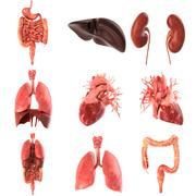 Human internal organs Anatomically accurate set . 3d rendering Stock Illustration
