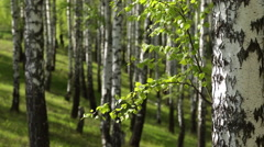 Spring Birch Grove in a Sunny Day Stock Footage