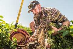 Bearded man harvesting fresh vegetables into basket Stock Photos