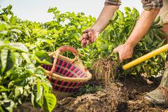 Cropped view of man harvesting fresh vegetables from vegetable garden Stock Photos