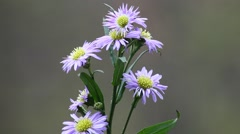 A closeup of Aster flowers in the rain in Spring season. - stock footage