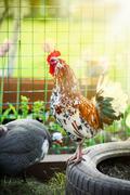 Beautiful colored cock Stock Photos