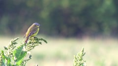 Small yellow wagtail on the spring meadow. Stock Footage