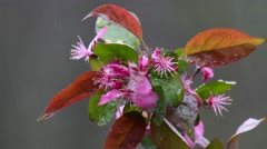A branch of wet crabapple flowers with water drops in the rain Stock Footage