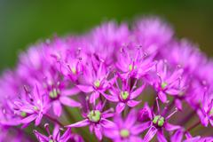 Purple Allium Flowers - stock photo