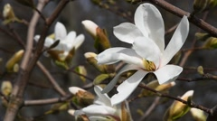 White magnolia flower high angle close up Stock Footage