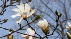 White magnolia flower and bud close up Stock Footage