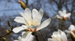 White magnolia flower head close up Stock Footage