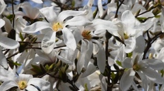 White magnolia flowers in the wind, close up Stock Footage