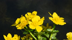 Yellow Caltha flowers in pond water close up Stock Footage