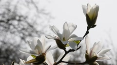White magnolia flowers side over white, close up Stock Footage
