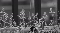 Uncultivated wild plants in the rain in black and white. Stock Footage