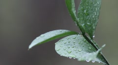 Wet leaves with water drops in the rain in Spring season. Stock Footage
