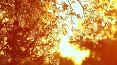 Pollen and tree leaves on the wind in sunset HD - stock footage