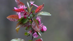 Wet Crabapple flowers with water drops in the rain Stock Footage