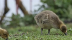 Close up of goslings of Greylag geese feeding on grass - stock footage