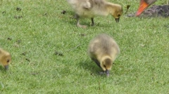 A family of Greylag geese feeding on grass Stock Footage