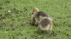 Goslings of Greylag goose feeding and resting on a lawn - stock footage
